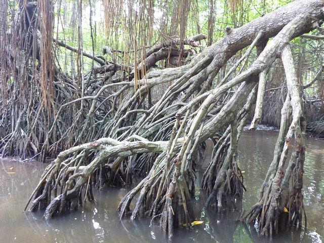 Mangrove Metsä
